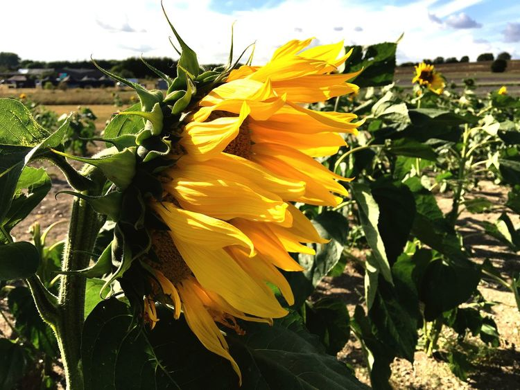 Sunflower farm Flower Freshness Yellow Fragility Petal Flower Head Growth Close-up Beauty In Nature Plant Field Vibrant Color Nature Single Flower Springtime Blooming In Bloom Selective Focus Sunflower Focus On Foreground Perspectives On Nature