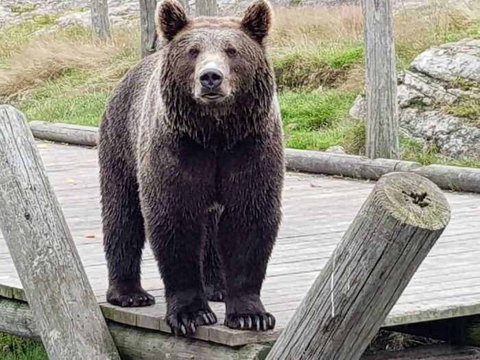 Bear watching EyeEm Selects Portrait Ear Looking At Camera Bear Zoo