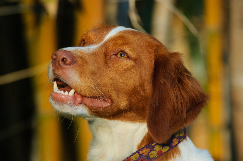 Brittany Spaniel dog outdoor portrait Close-up Focus On Foreground Pets Dog Canine One Animal Domestic Animal Themes Brown Animal Head  Mouth Open Snout No People Day Looking Away Animal Looking Brittany Brittany Spaniel Portrait Head Shot  Spaniel Purebred Dog