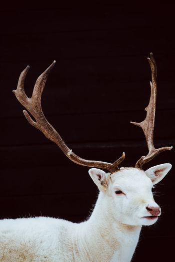 Albino fallow deer Fallow Deer Deer Albino Deer Albino Animal White Deer White Buck White Stag Stag Buck Wildlife & Nature Antler Mammal Dama Dama Cervus Depigmentation Wilderness Albinism Majestic Nature