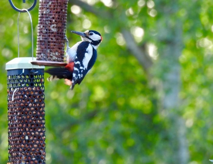Woodpeckers Animal Themes Bird Garden Bird Feeder Animals In The Wild Outdoors Day Focus On Foreground Animal Wildlife Food And Drink No People One Animal Food Woodpecker Nature Perching Tree Freshness Close-up