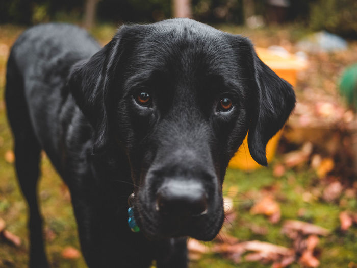 Close-up portrait of black dog