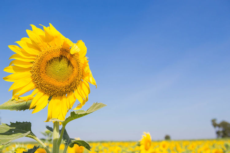 Sunflower in the garden outdoors. Agriculture Blue Sky Field Flower Food Garden Green Landscape Nature Plant Sky Springtime Summertime Sunflower🌻 Sunlight Yellow Flower