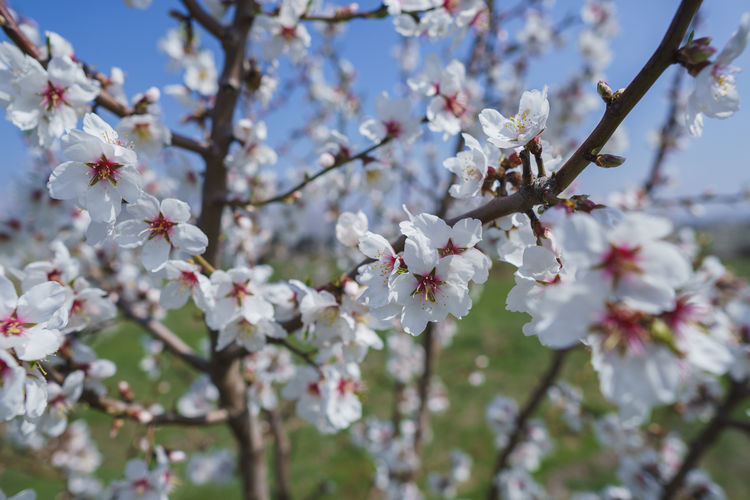 Flowering Plant Flower Fragility Blossom Plant Freshness Beauty In Nature Vulnerability  Growth Branch Tree Springtime Cherry Blossom Nature Petal Fruit Tree Close-up Twig Day Orchard No People Cherry Tree Pollen Flower Head Outdoors
