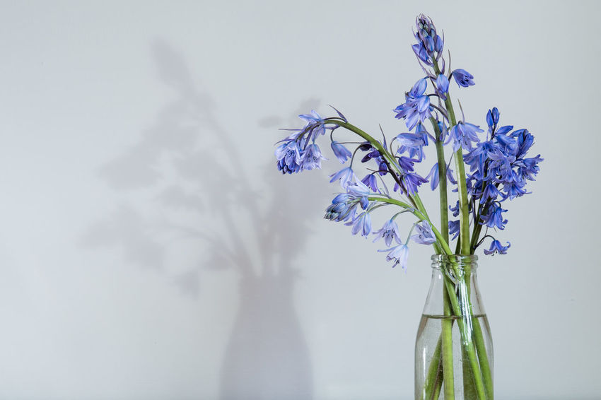 Bluebells in a milk bottle Beauty In Nature Bluebell Bluebells Close-up Copy Space Day Flower Flower Head Fragility Freshness Indoors  Milkbottle Nature No People Petal Purple Vase White Background
