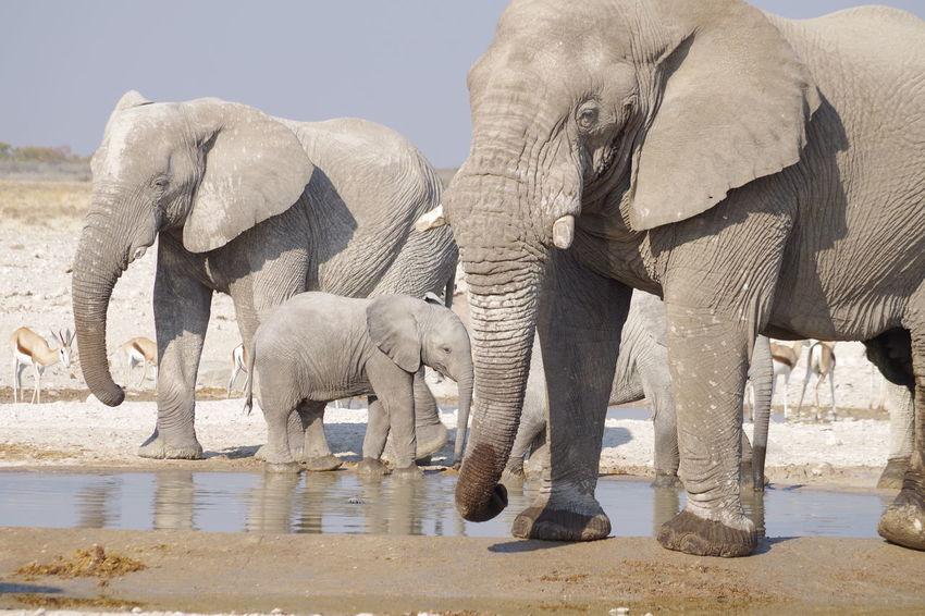 the Boss Namibia Namibia Landscape Namibia Desert Etosha National Park Etosha Wildlife African Elephant Animal Trunk Elephant Water Safari Animals Wildlife Reserve Southern Africa Safari Animal Family Group Of Animals