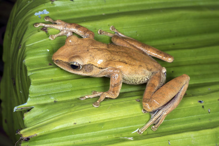 Frog of North Borneo Borneo Endangered Species Frog Close-up Endemic Herping No People Sabah Malaysia Vertebrate