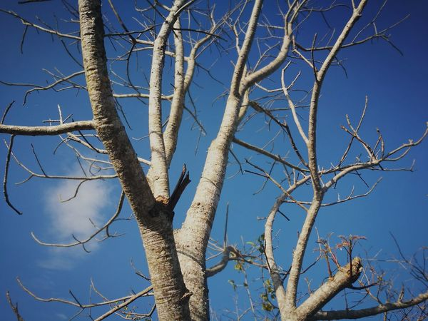 Branch Low Angle View Nature Tree Blue Bare Tree Sky Day Clear Sky Outdoors No People Close-up Beauty In Nature