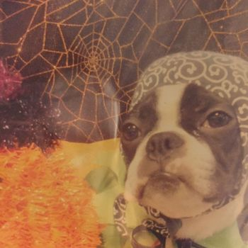 ハロウィンの時になぜかシャンプーついでに泥棒の仮装させられてた笑😍 Pets Dog Looking At Camera One Animal Animal Themes Domestic Animals Portrait Mammal Indoors  No People Close-up Day ボストンテリア