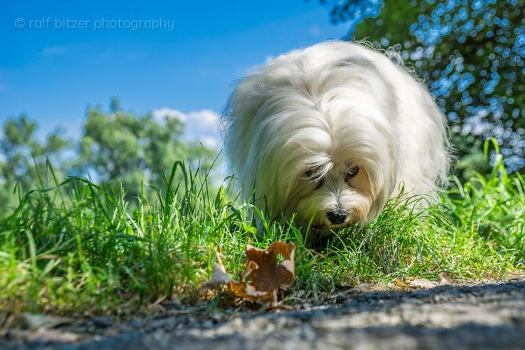 Search Dog Pets Domestic Animals Animal Themes Grass One Animal Selective Focus Field Front View Animal Head  Outdoors Day Nature Havanese