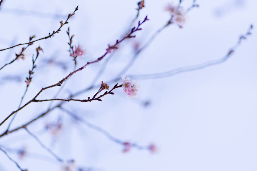 Branch Tree Plant Beauty In Nature Cold Temperature Twig Close-up Nature Winter No People Day Low Angle View Snow Fragility Focus On Foreground Growth Selective Focus Tranquility Frozen Outdoors Cherry Blossom