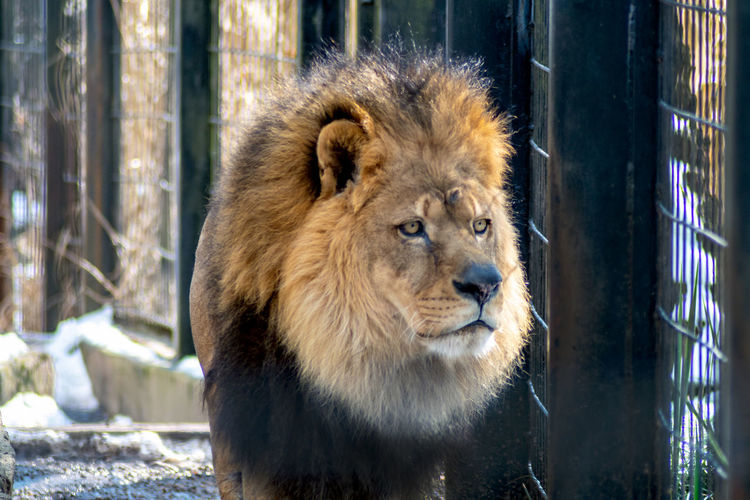 Shaggy large african lion in a zoo habitat