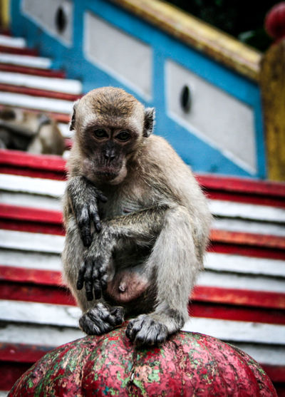 Animal Portrait Animal Posing Animal Themes Canon350D Colorful Stairs EyeEm Best Shots EyeEm Nature Lover Hanging Around Macaques Monkey Monkey Business Monkey Face Monkey Portrait Monkeys One Animal Relaxing Sad Sitting Stairs Stealing Thief Tourists Traveling In Malaysia Traveling Malaysia Wildlife & Nature