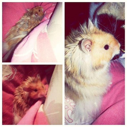 our new family member. ♡ Hamster Fluffy