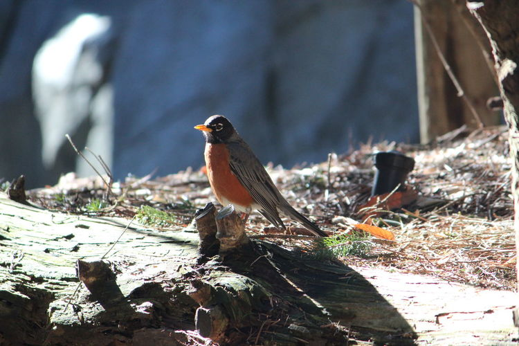 Animal Themes Animal Bird Vertebrate One Animal Animal Wildlife Animals In The Wild Perching Robin No People Day Focus On Foreground Nature Wood - Material Outdoors Close-up Tree Sunlight Selective Focus Land