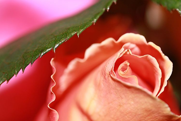 Sensual and stunning natural beauty Flower Nature Rose - Flower Plant Beauty In Nature Pink Color Fragility Flower Head Close-up No People