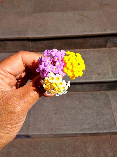 three colour flower on the hand Flower Flowers, Nature And Beauty Flowers Of EyeEm Flowers 🌸🌸🌸 Flowers Three Colour Flower Three Colors Three Flower Human Hand Flower Flower Head Holding Women Petal Yellow Close-up Moms & Dads