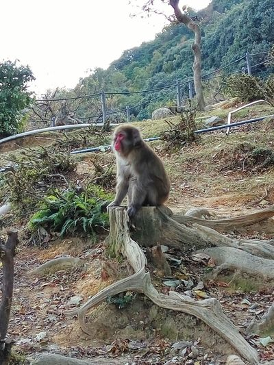 Forest Wild Animal Free Animal サルの森 Monkey Animal Themes Baboon Japanese Macaque Sky Outdoors Nature No People Animals In The Wild One Animal Mammal Sitting Day