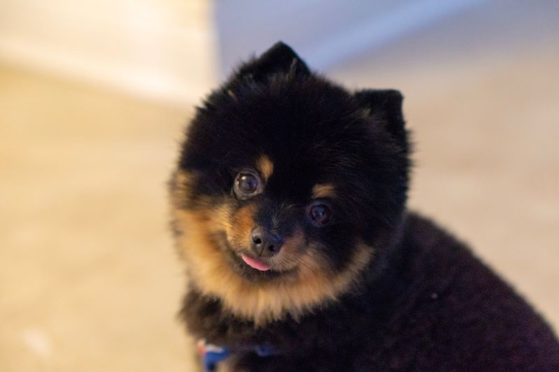 Puppy Pomeranian Dog Pommy Mammal One Animal Domestic Animals Pets Canine Dog Domestic Vertebrate Portrait No People Looking At Camera Close-up Focus On Foreground Nature