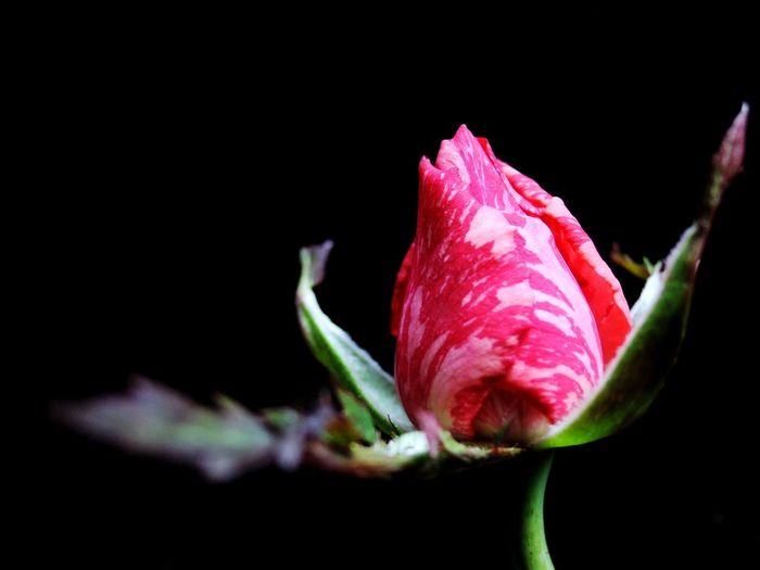 A flow Flower Freshness Nature Beauty In Nature Growth Flower Head Close-up Pink Color Springtime Plant No People Black Background Red Outdoors Red Nikonphotographer Minimalist Nikonphotography Nikon StillLifePhotography Minimalist Photography  Flora Roses Mininalist Rose - Flower