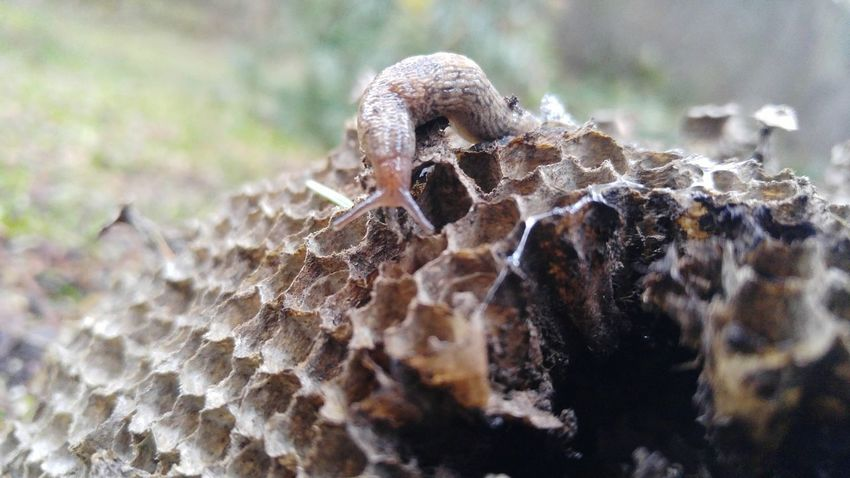Close-up Animal Themes Nature Animals In The Wild Day Outdoors Animal Wildlife No People One Animal No Filter, No Edit, Just Photography Fragility Wasp Nest Paperwasp Path In The Woods Animals In The Wild EyeEm Animal Lover Slug Slug Snail Bugs Nature Creatures