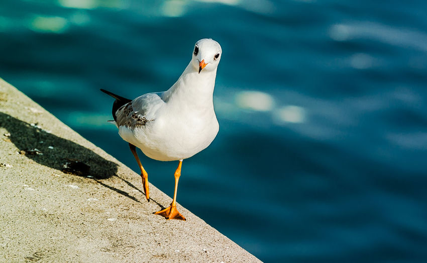 Animal Themes Beauty In Nature Bird Blue Close-up Eyes Feather  Focus On Foreground Nature No People Outdoors Seagull Selective Focus Walking Watching White Wildlife
