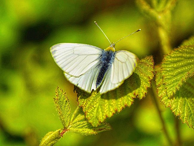 Papillion Animals In The Wild Butterfly - Insect Nature No People Focus On Foreground Beauty In Nature Green Color Outdoors Fragility Spread Wings Close-up