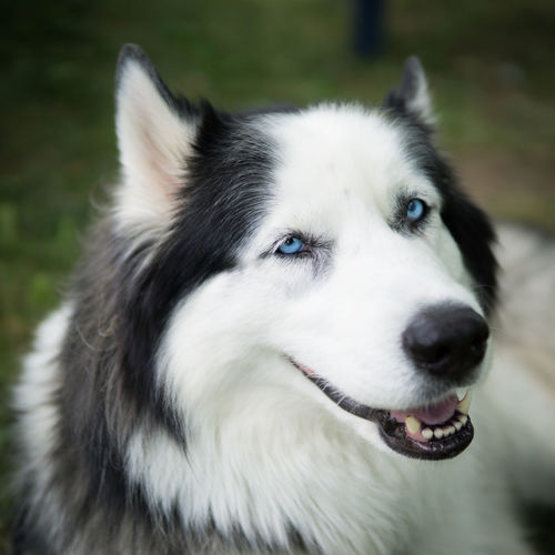 Alertness Animal Hair Animal Head  Animal Themes Close-up Day Dog Dogs Domestic Animals Eyes Focus On Foreground Husky Loyalty Mammal No People One Animal Outdoors Pets Portraits Siberian Husky Snout Zoology