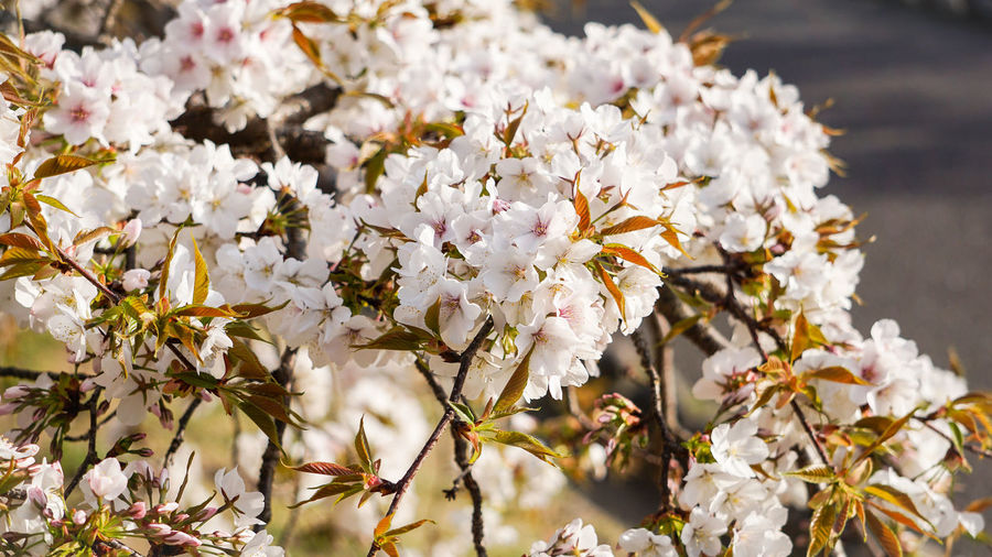 Close-Up Of White Cherry Blossom