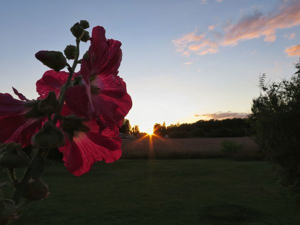 In My Garden Evening Sunset Hollyhocks Nature Sky Sunset Landscape Outdoors Flower Head Beauty In Nature Flower Plant