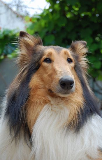 Dog Pets Domestic Animals One Animal Animal Themes Animal Hair Mammal No People Close-up Portrait Outdoors Day Rough Collie