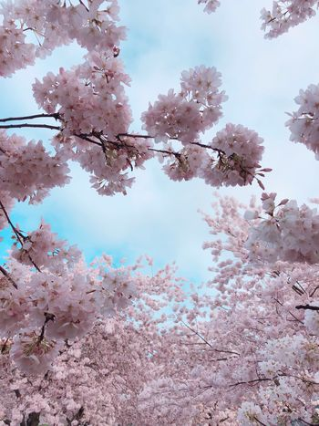 Beautiful light pink cherry blossom flowers blooming during a clear blue sky day in spring Plant Life Flower Bloom Spring Springtime Cherry Blossoms Plant Tree Beauty In Nature Sky Low Angle View Flower Nature Growth Day Branch Flowering Plant No People Springtime Tranquility Pink Color Blossom Freshness Outdoors