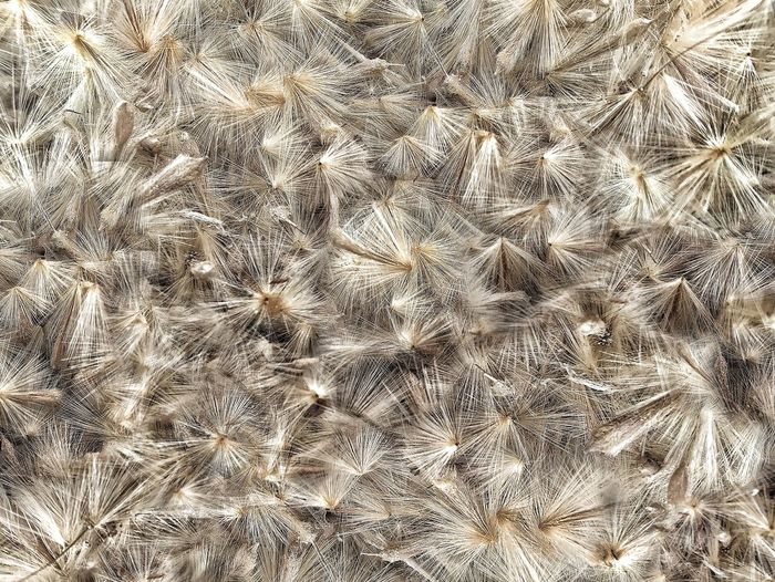 Close-up of a full frame of weeds seeds