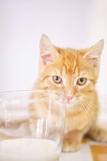 Orange tabby ginger kitten by a glass of kitten milk Adoption Reacue Pets Pet Foster Glass Milk Cat Orange Ginger Cat Kitten Tabby EyeEm Selects Domestic Cat Pets Domestic Animals Animal Themes One Animal Indoors  Looking At Camera Portrait Whisker Close-up No People