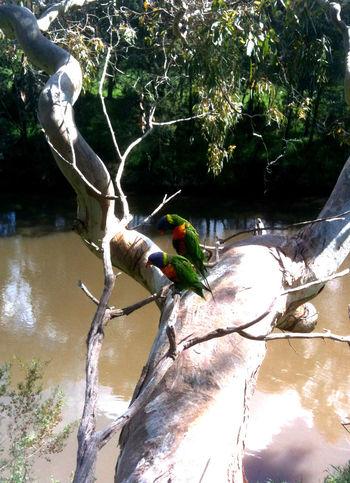 Lorikeet Parrot Tree River Australia Birds Yarra Wildlife Melbourne Urban Nature
