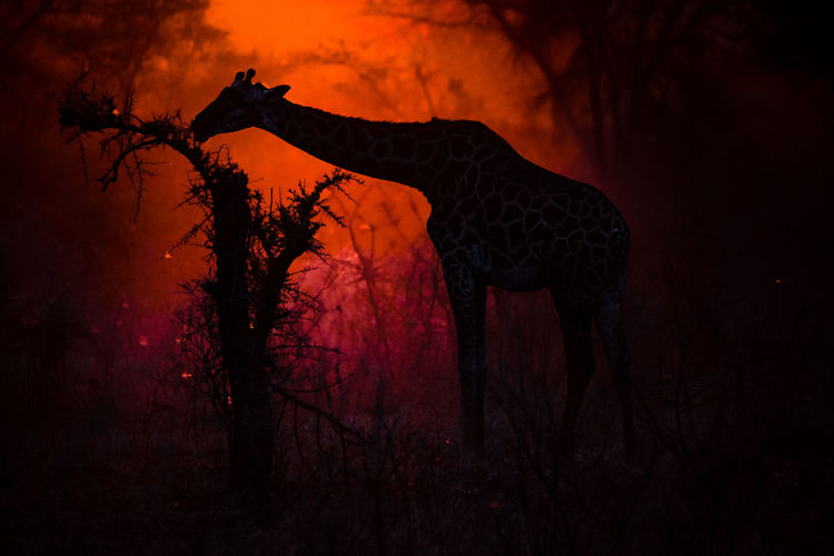 View of silhouette giraffe and acacia tree on field against sky at sunset