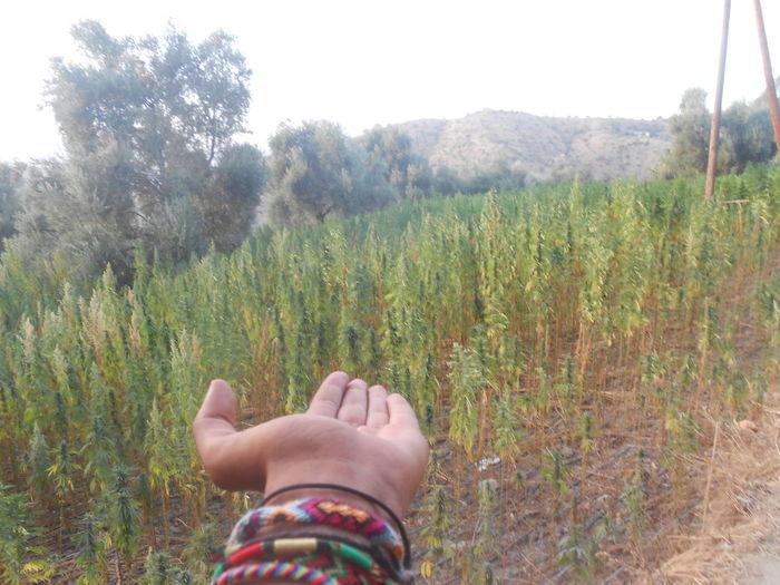 funny cannabis Cannabis Green Herb Nature Plant Trip Humain Medical
