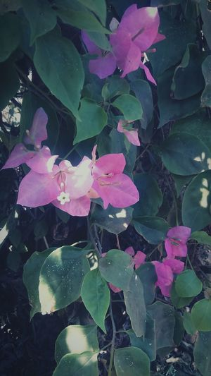 Showcase: January The Bougainvilla ...Beautiful Creation of the nature
