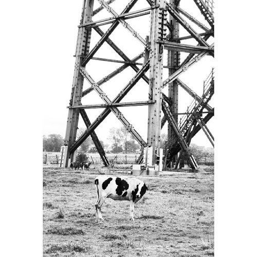 Cow Messturm Turm Tower Wood Brandenburg Brück Kuh
