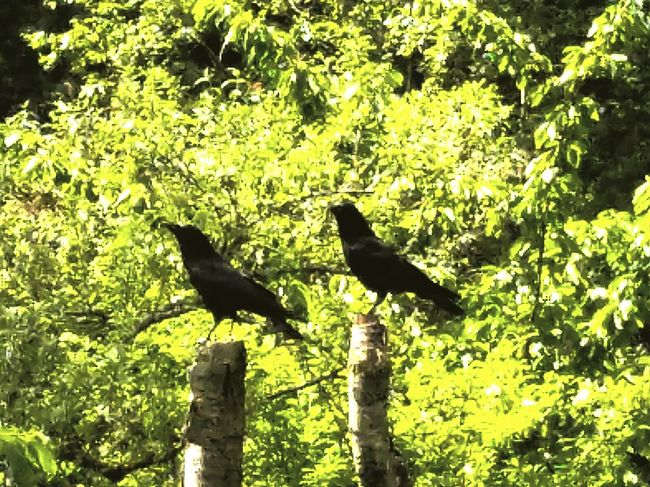 More crows! Hanging Out Pixlr Edit Capture The Moment Pixlr Crowlovers Mybackyard CROWS!!!! Crowstand PixlrEffects Crows Wildlife Photography