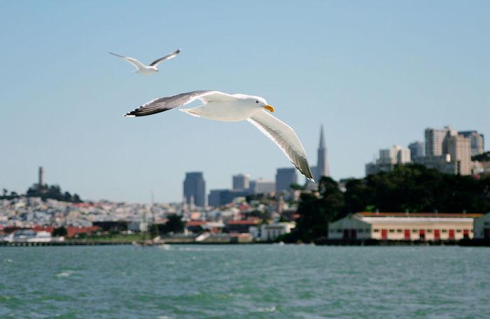 Birds Gull Sanfrancisco Water Ocean Sanfran Bay Area USA America Tourism