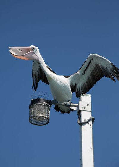 Low angle view of pelican perching on street light against clear sky