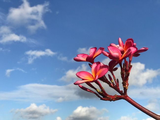 Frangipani Flower Beauty In Nature Petal Nature Growth Fragility Sky Pink Color Freshness Flower Head No People Low Angle View Day Cloud - Sky Close-up Outdoors Blooming Tranquil Scene Tranquility Out Of The Box Place Of Heart Mix Yourself A Good Time Perspectives On Nature