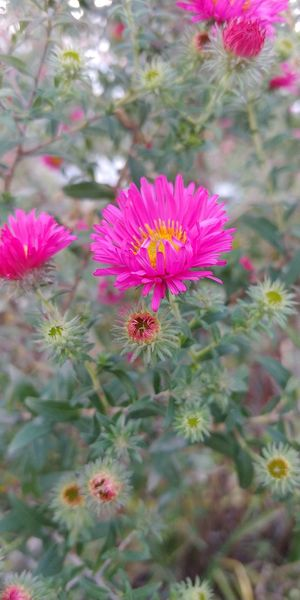 Autumn dream Autumn Jesień Polska Poland Flower Head Flower Pink Color Close-up Plant Wildflower
