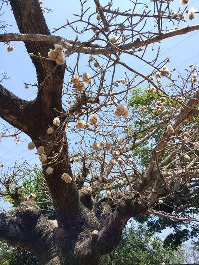 árbol de algodón Algodón árbol Ramas Cotton Tree In Bloom