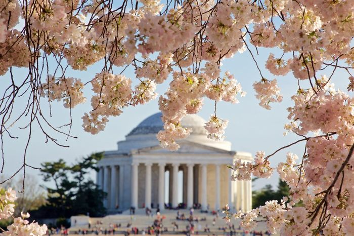 The cherry blossoms before the wind blew them all into the Tidal Basin Beautiful Cherry Blossoms Cherry Blossom Festival Springtime Spring Flowers Washington, D. C. Tidal Basin Jefferson Memorial