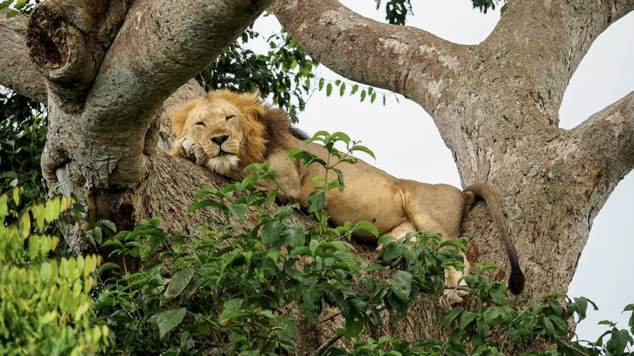 Low angle view of lion sleeping on tree