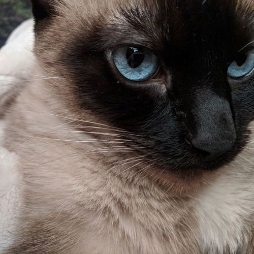 Nooni Cat Cats Of EyeEm Blue Eyes Check This Out Pet Petstagram Pets Pets Portrait Dog Domestic Cat Looking At Camera Animal Hair Close-up