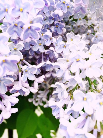 Spring Springtime Blooming Lilac Lilacs Lilac Flower Lilac Bush Flowers Flower Summer Summertime Purple Flower Purple