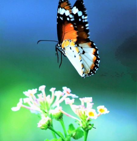 Butterflies are free Animal Themes Beauty In Nature Butterflies Are Free Close-up Flowers In Garde Focus On Foreground Insect Nature